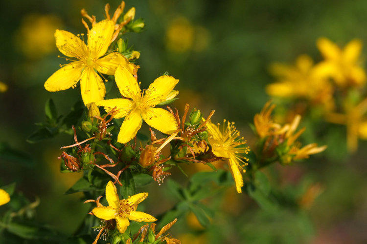 St. John's wort is a plant effectively used to cure depression