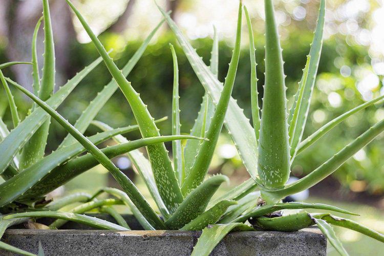 Aloe vera: medicinal properties and contraindications