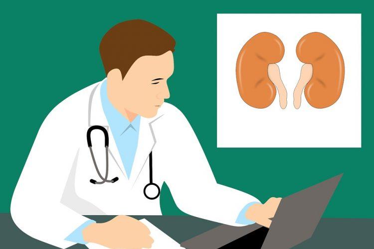 Kidney anatomy